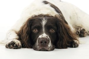 JD-21234 DOG. English springer spaniel lying down close up