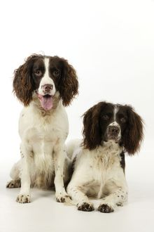 JD-21236 DOG. English springer spaniel pair one sitting and one lying down