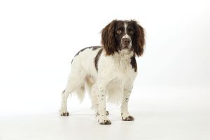 JD-21237 DOG. English springer spaniel looking away from camera