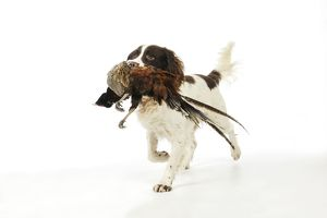 JD-21239 DOG. English springer spaniel carrying pheasant in mouth