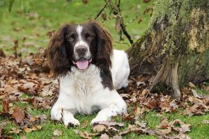 JD-21240 DOG. English springer spaniel sitting in leaves