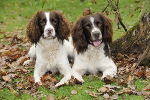 JD-21241 DOG. English springer spaniel pair sitting in leaves
