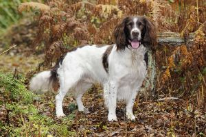 JD-21242 DOG. English springer spaniel standing in ferns