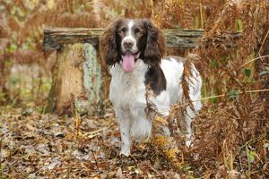 JD-21243 DOG. English springer spaniel standing in ferns