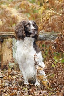JD-21244 DOG. English springer spaniel sitting in ferns