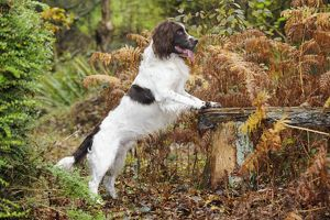 JD-21245 DOG. English springer spaniel on bench