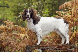 JD-21246 DOG. English springer spaniel standing on bench