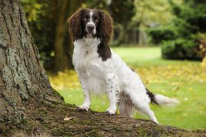 JD-21247 DOG. English springer spaniel standing on tree root