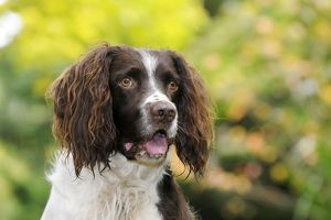 JD-21248 DOG. English springer spaniel close up of head