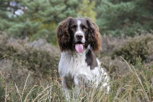 JD-21249 DOG. English springer spaniel sitting in heather