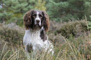 JD-21250 DOG. English springer spaniel sitting in heather