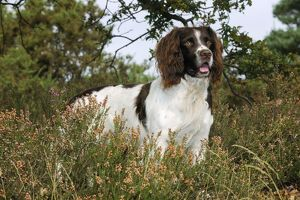 JD-21251 DOG. English springer spaniel standing in heather