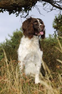 JD-21253 DOG. English springer spaniel standing in heather