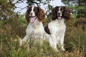 JD-21254 DOG. English springer spaniel pair sitting in heather