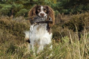 JD-21256 DOG. English springer spaniel holding grouse in mouth