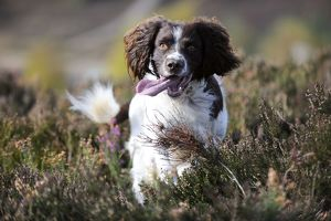 JD-21257 DOG. English springer spaniel running through heather