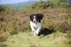 JD-21258 DOG. English springer spaniel running through heather