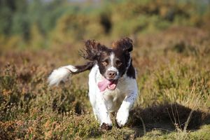JD-21259 DOG. English springer spaniel running through heather