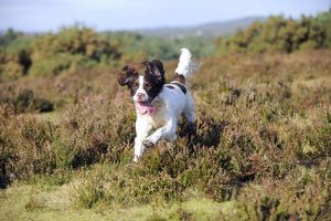 JD-21260 DOG. English springer spaniel running through heather