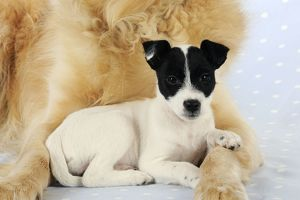JD-21268 DOG. Jack russell terrier puppy lying in front of golden retriever chest