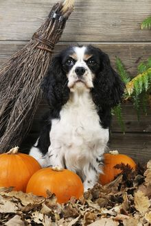 JD-21272 DOG. Cavalier king charles spaniel with broom and pumpkins