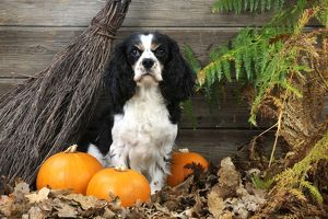 JD-21273 DOG. Cavalier king charles spaniel with broom and pumpkins