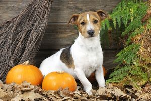 JD-21274 DOG. Jack russell terrier with broom and pumpkins