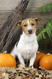 JD-21275 DOG. Jack russell terrier with broom and pumpkins