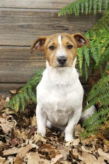 JD-21276 DOG. Jack russell terrier sitting in leaves