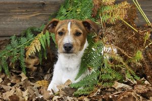 JD-21277 DOG. Jack russell terrier sitting in leaves