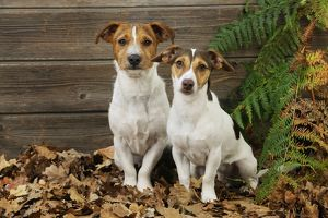 JD-21278 DOG. Jack russell terrier sitting in leaves