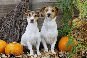JD-21279 DOG. Jack russell terriers with broom and pumpkins