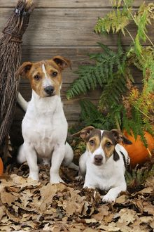 JD-21280 DOG. Jack russell terriers with broom and pumpkins