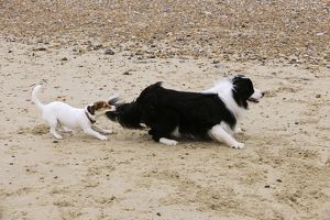 JD-21285 DOG. Jack russell terrier pulling on border collies tail