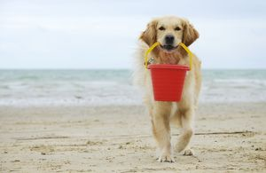 JD-21288-C DOG. Golden retriever holding bucket.