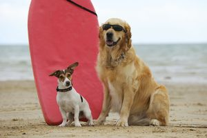 JD-21291 DOG. Golden retriever wearing sunglasses and jack russell terrier next to