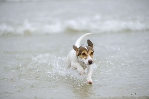 JD-21304 DOG. Jack russell terrier running in surf