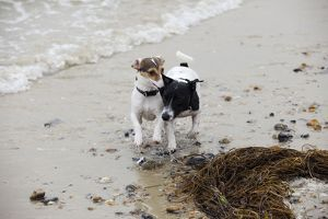 JD-21310 DOG. Jack russell terriers playing on beach