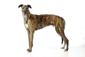 JD-21327 DOG. Greyhound