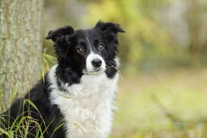 JD-21341 DOG. Border collie in front of tree