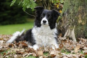JD-21342 DOG. Border collie in leaves