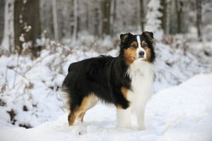 JD-21346 DOG. Australian shepherd standing in the snow