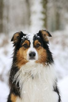 JD-21347 DOG. Australian shepherd with snow on head