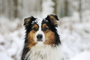 JD-21348 DOG. Australian shepherd with snow on head