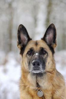 JD-21349 DOG. German shepherd with snow on nose