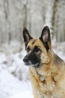 JD-21350 DOG. German shepherd with snow on nose