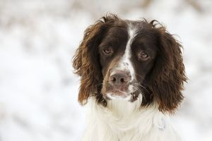 JD-21351 DOG. English springer spaniel close up