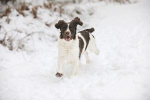JD-21355 DOG. English springer spaniel running through the snow
