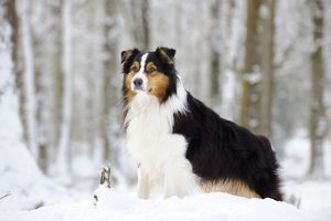 JD-21357 DOG. Australian shepherd standing in the snow