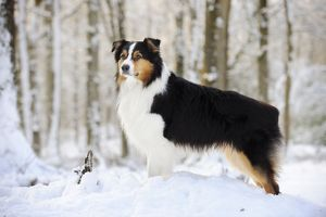 JD-21358 DOG. Australian shepherd standing in the snow